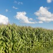 Dutch maize field with blue sky background — Stock Photo