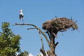 Cigüeña en un viejo árbol cerca de su nido — Foto de Stock