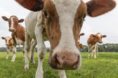 Curious cows in Dutch pasture — Stock Photo