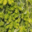Background of green fir needles — Stock Photo