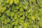 Background of green fir needles — Stock Photo