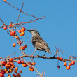 Spotted starling eating fruits in an apple tree — Stockfoto