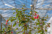 Cultivation of fuchsia in a Dutch greenhouse — Stock Photo