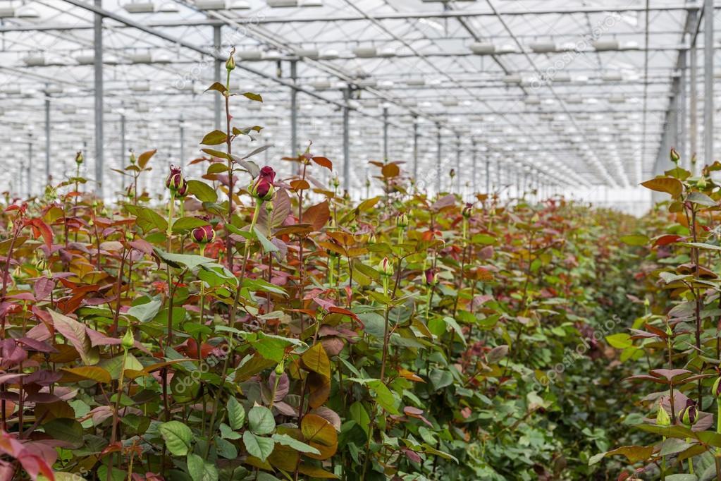 Växthus Odla : Ros odling i stora holländska växthus ? stockfotografi � kruwt