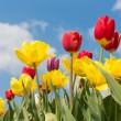 Beautiful colorful tulips against a blue sky with clouds — Stock Photo