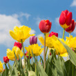Beautiful colorful tulips against a blue sky with clouds — Stock Photo #39017961