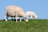 Sheep with her lambs — Stock Photo