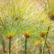 Beautiful Papyrus plants with selective focus — Stock Photo #46835287