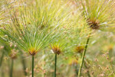 Beautiful Papyrus plants with selective focus — Stock Photo