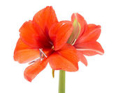Blooming Amaryllis over a white background — Stock Photo