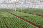 Cultivation of indoor plants in a Dutch greenhouse — Stock Photo