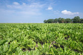 Dutch farmland with sugar beets — Stock Photo