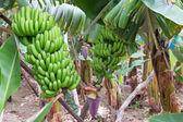 Banana plantation at Madeira Island — Stock Photo