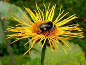 Bumble-bee on a yellow forest flower — Stock Photo