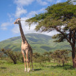 Giraffe walking through the grasslands - Stock Photo