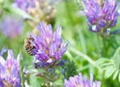 Honey bee on beatyful flower close up — Photo