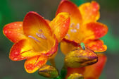 Beautiful  freesia flowers with water drops and  green insect — Stock Photo