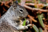Young Squirrel Eating Ice Plant — Stok fotoğraf