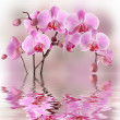 Stock Photo: Pink orchids with water reflexion