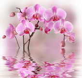 Pink orchids with water reflexion — Stock Photo