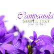 Campanula spring flowers border - Stock Photo