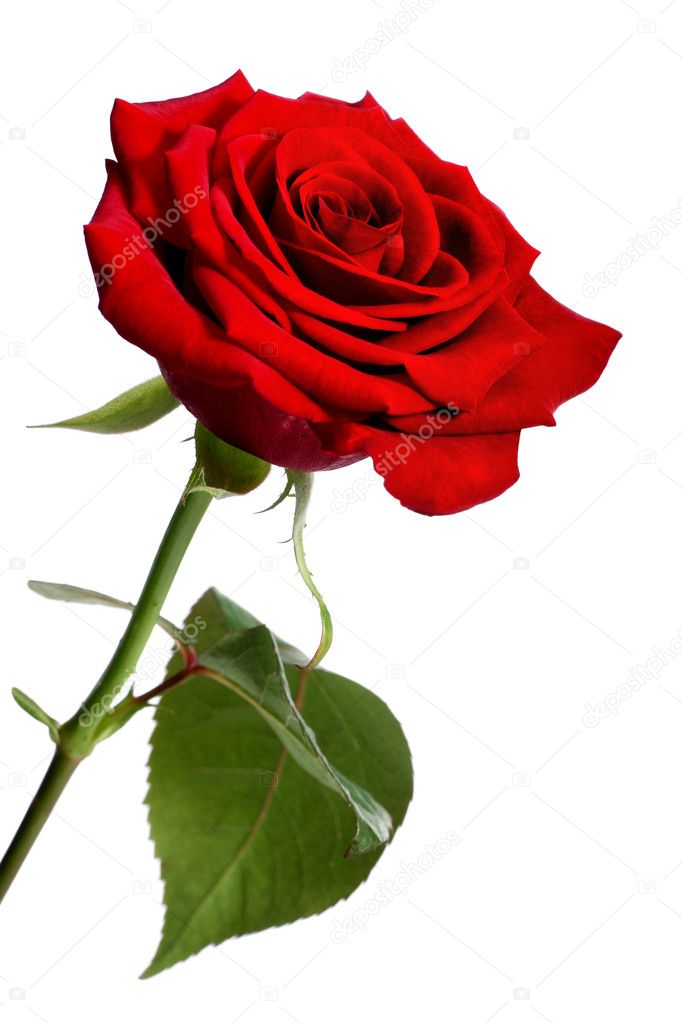 Single red rose, isolated on a white background  Foto de Stock   #18702769