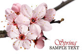 Pembe bahar çiçeği — Stok fotoğraf