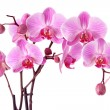 Stock Photo: Purple orchid flowers