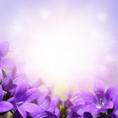 Purple campanula spring flowers background — Stock Photo