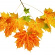 Fall maple leaves — Stock Photo #30187435