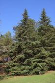Spruce tree — Stock Photo