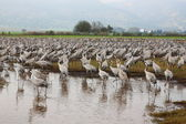 Cranes take a rest on Hula lake in Israel — Stock Photo