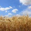 Stock Photo: Golden, ripe wheat