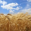 Stock Photo: Field of ripe wheat