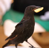 Ouzel with chips in its beak — Stock Photo