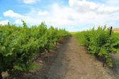 One Tree Hill Vineyard — Stock Photo