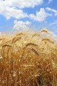 поле спелой пшеницы — Стоковое фото