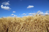Ripe wheat field in Oregon — Stock Photo