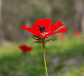 Blooming red poppie — Stock Photo