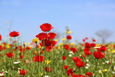 Red poppies field by spring — Foto de Stock