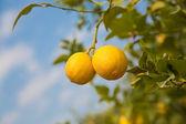 Yellow lemons hanging on tree — Stock Photo