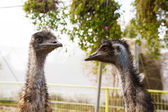 2 young ostrich — Stock Photo
