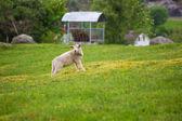 Sheep grazing in Scandinavia — Stock Photo