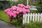 ピンク開花低木 — ストック写真
