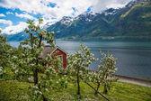 Blossoming apples orchard of Lofthus, Hardangerfjord — Stock fotografie