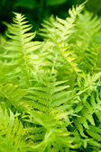 Fresh green fern leaves nature background — Stockfoto
