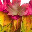 Fall leaf colors - Stock Photo