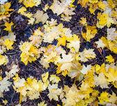 Hojas amarillas de otoño — Foto de Stock
