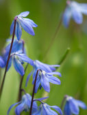 Bluebells in garden — Stock Photo