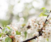 Floradas de primavera — Foto Stock